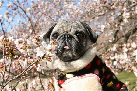 砧公園の桜を愛でるオリビア