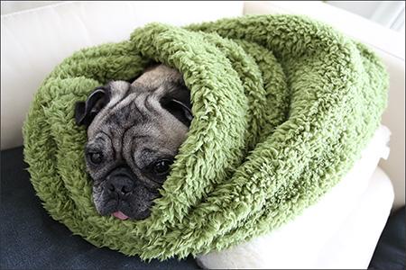 毛布にすっぽりと包まれたオリビア。ぬくぬくです。