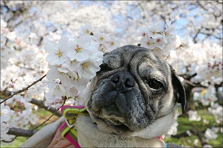 特に桜の花が好きでもないオリーは迷惑顔…。