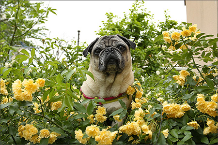 木香薔薇に埋もれるオリビア、ここはどこでしょう?