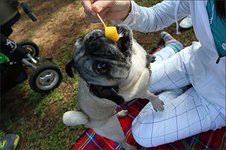 続いてシャーベット状のマンゴーに食らいつくオリー。