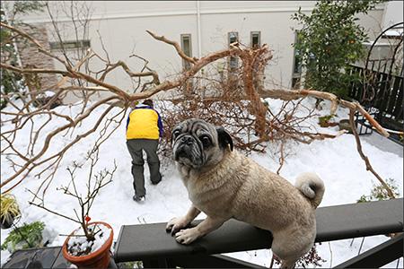 大雪で、庭の百日紅の木が真っ二つに折れました!