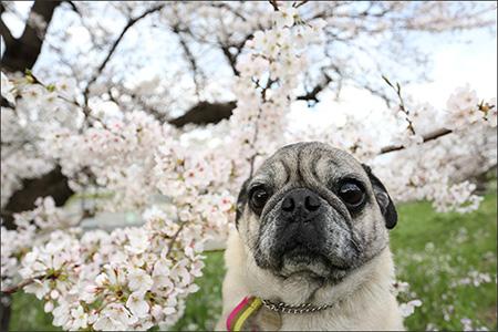 ママにだっこしてもらって、桜と写真に納まるオリビア。