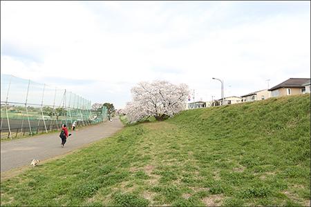 多摩川河川敷の桜もちょうど見頃です。