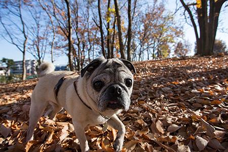 オリーは落ち葉の吹き溜まりが大好き。