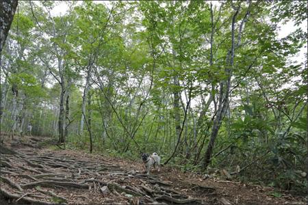 明るいブナ林を快調に登ります。