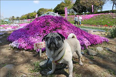 芝桜の苗木屋さんの前には、使用例として富士山が。