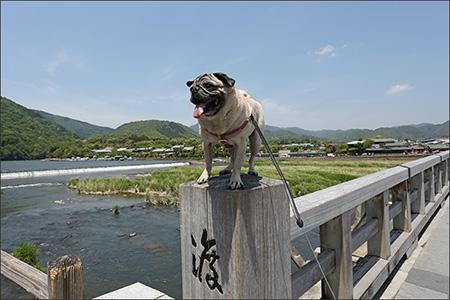 渡月橋の欄干にひらりと飛び乗ったオリー。(うそ)