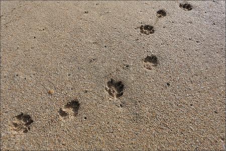 砂浜に残るオリーの足跡。