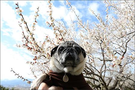 白梅とオリーさん。梅の花のいい香りが漂っていました。