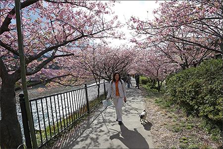 河津桜まつりに行ってきました。