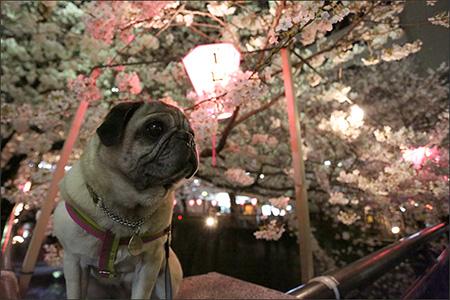 目黒川へ夜桜を観に行きました。